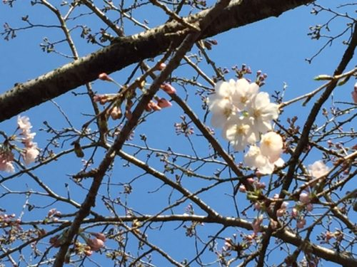 延岡・城山公園の桜
