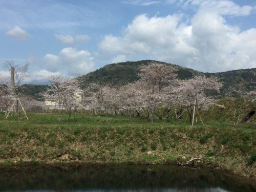 桜だより(4月9日)