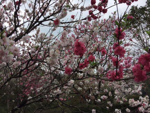 桜だより(旧早日渡駅)